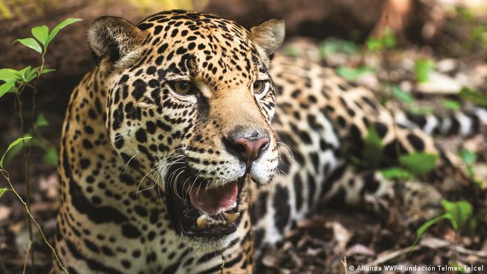 Robusto y musculoso: el jaguar es el felino más grande de América y el tercero más grande del mundo, después del león y el tigre.