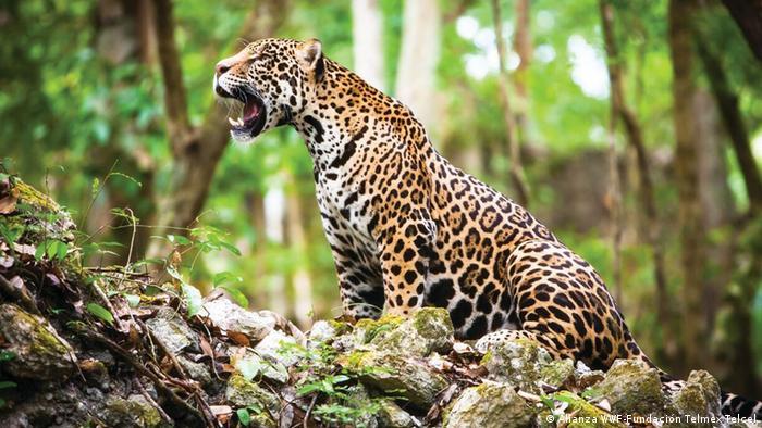 Jaguar (Alianza WWF-Fundación Telmex Telcel)