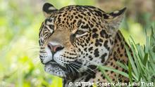 "Jaguar ""Tania"""