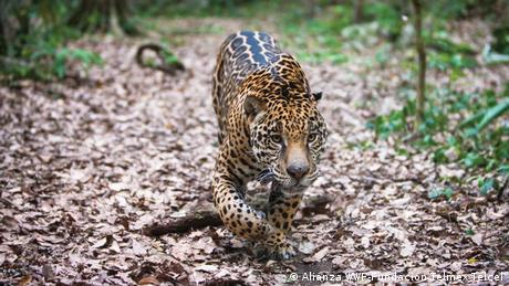 Ein Jaguar schleicht durch den Wald