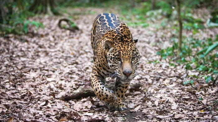 A jaguar stalking through the forest in Mexico (Alianza WWF-Fundación Telmex Telcel)