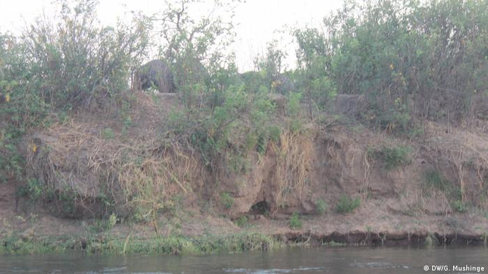 A river bank on the edge of the Chirundu forest in Zambia. A baby elephant can be seen moving through the bush.