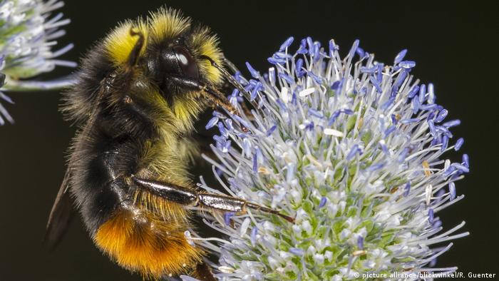Close up of a bee on a blue flower
