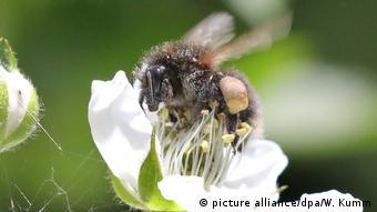 Abeja recogiendo polen de una flor (picture alliance/dpa/W. Kumm)