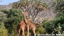 Zentralafrika: Manovo-Gounda St Floris National ParkGiraffenkampf