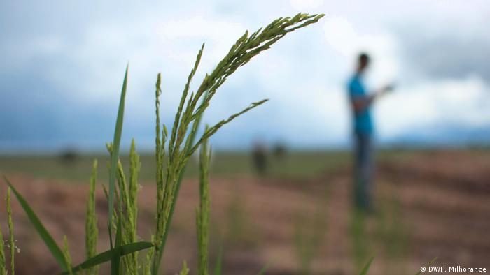 Planta de arroz na fazenda Oásis, na Bahia; ao fundo, agricultor sul-coreano