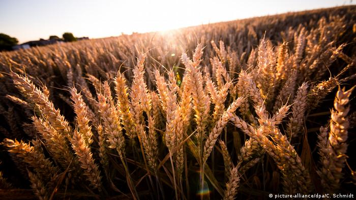 Sunset over a field of wheat.