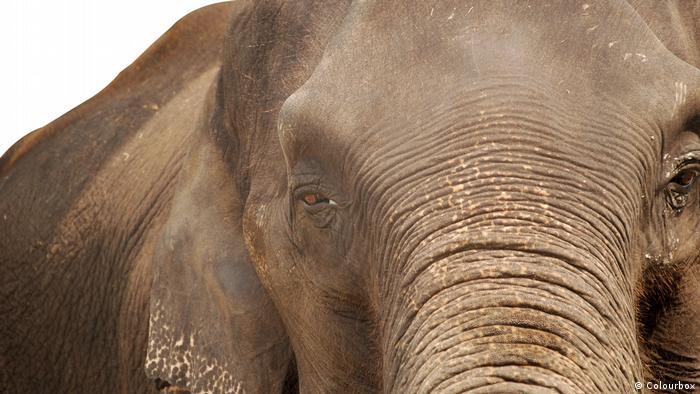 DW Wörter der Woche | Symbolbild Elefantengedächtnis (Colourbox)