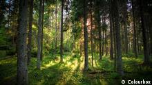 Photo: A forest (Source: Colourbox)