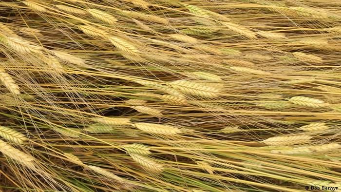 Strains of wheat