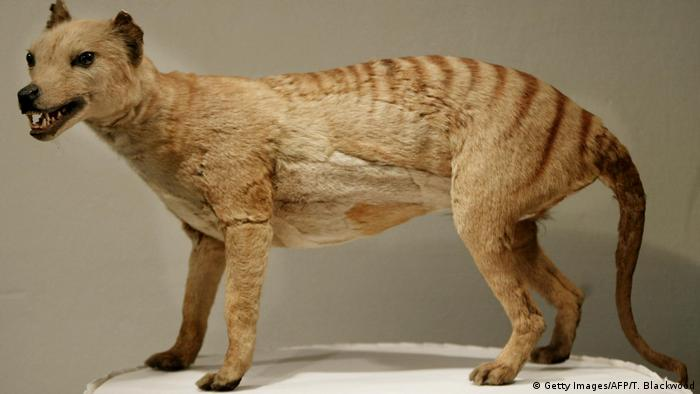 Tasmanian tiger (Thylacine) (Getty Images/AFP/T. Blackwood)