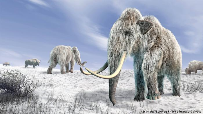 Woolly mammoths walking in a snow-covered field