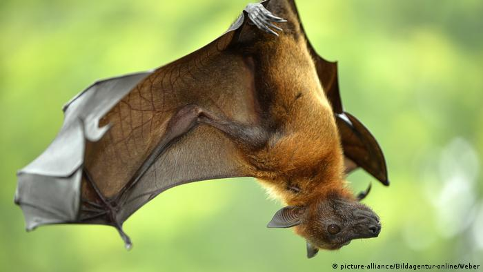 A flying fox hanging upside down