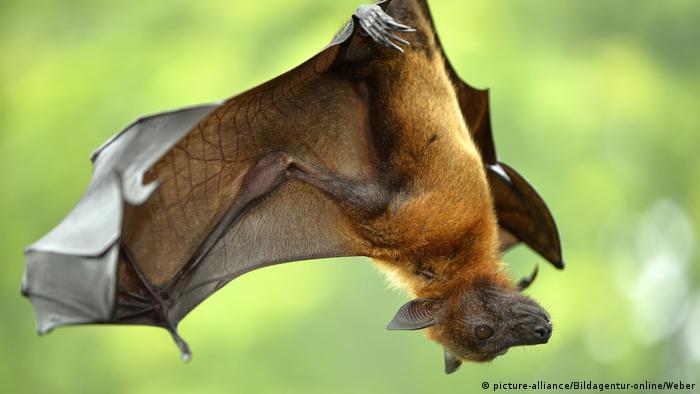 Morcego pendurado de cabeça para baixo.