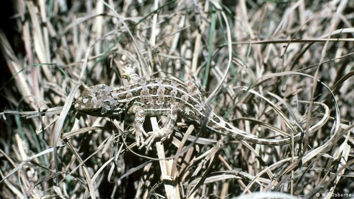 Australian Grassland Earless Dragon