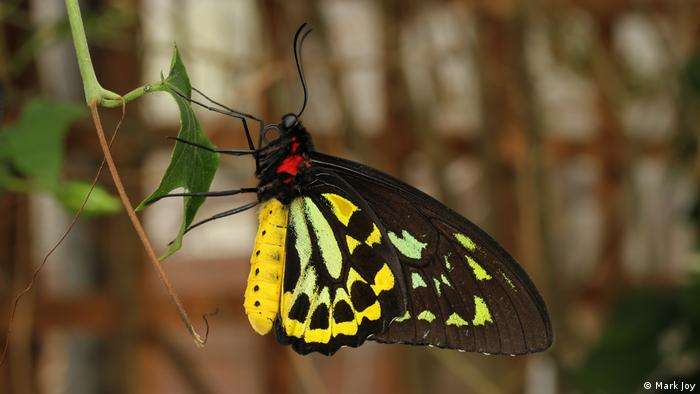 Queen Alexandra's Birdwing (Mark Joy)
