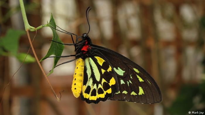 Queen Alexandra's Birdwing (Mark Joy)