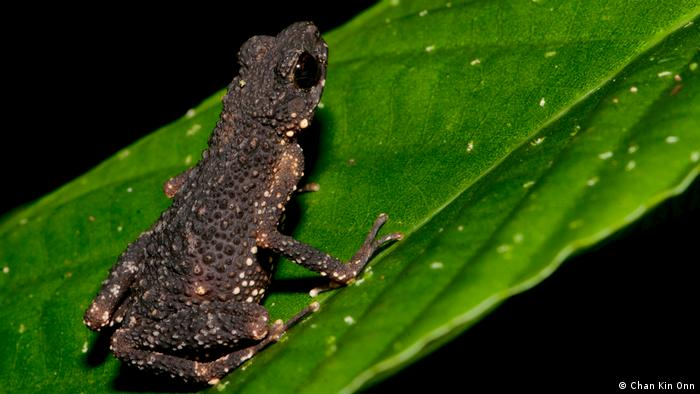 The Malaysian Precious Stream Toad