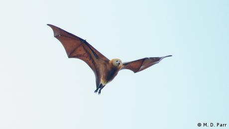 The Mauritian flying fox