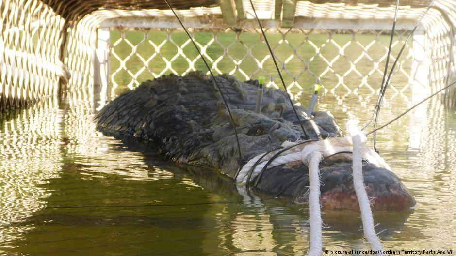 河裡的龐然大物!澳洲捕獲600公斤巨鱷,估計高齡60歲