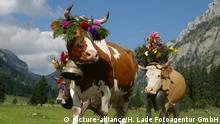 Schweiz Berner Oberland Landwirtschaft - Kühe