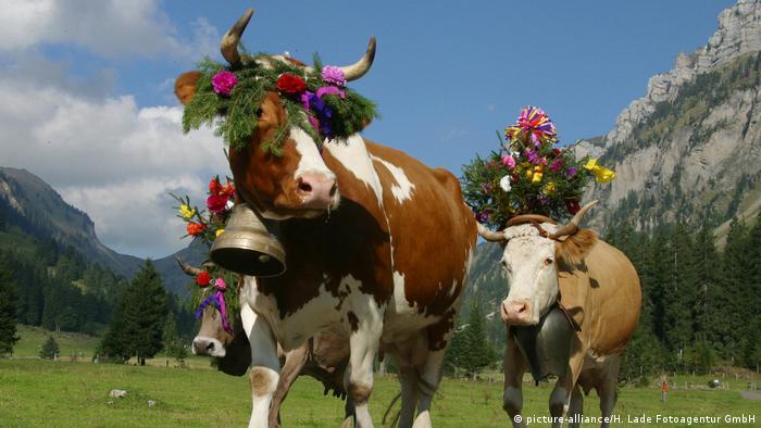Schweiz Berner Oberland Landwirtschaft - Kühe (picture-alliance/H. Lade Fotoagentur GmbH)