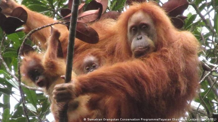 Tapanuli orangutan twins with mother in a tree