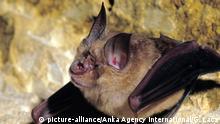 Great Horseshoe Bat, rhinolophus ferrumequinum | Verwendung weltweit, Keine Weitergabe an Wiederverkäufer.