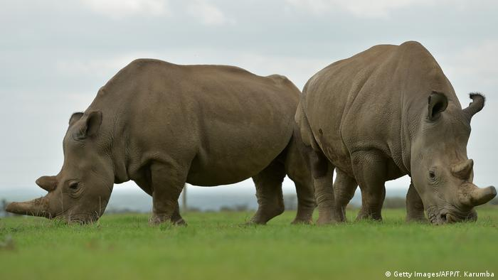 Najin and Fatu, the only two remaining female northern white rhinos; graze together in their paddock