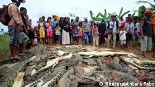 Dead crocodiles in Indonesia