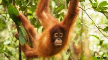 Indonesien Abholzung durch Palmölplantagen | Orang-Utan (DW)