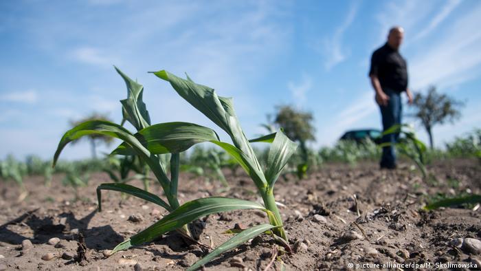 Фермер на поле с засохшей кукурузой