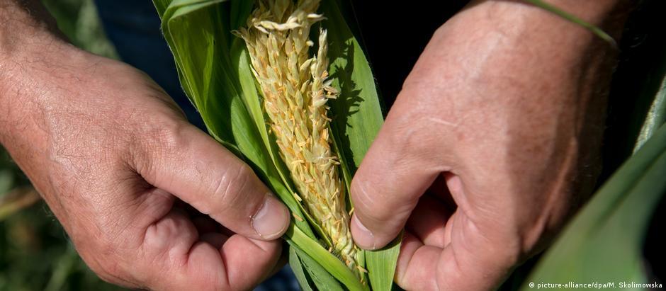 Espiga de milho seca: retrato do escaldante verão na Alemanha