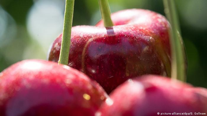 Cherries (picture-alliance/dpa/S. Gollnow)