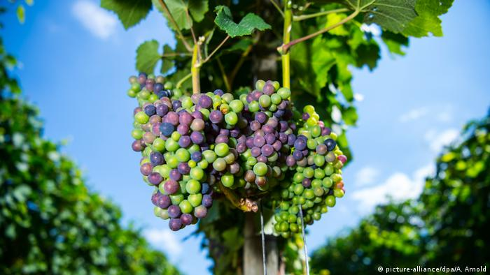 BdT Weinberge (picture-alliance/dpa/A. Arnold)