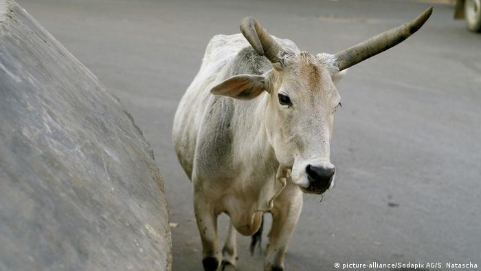 A cow in Rajasthan