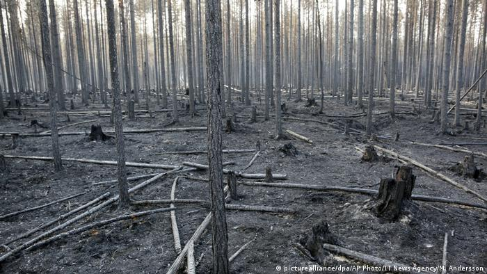 Burned trunks of trees after a forest fire in Angra, Sweden, in July 2018