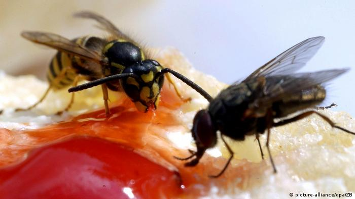 A fly and a wasp feeding on a bread (picture-alliance/dpa/ZB)