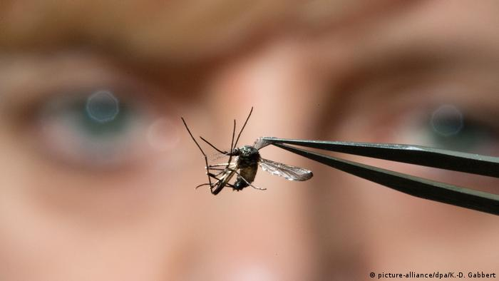 A researcher holds a mosquito with tweezers (picture-alliance/dpa/K.-D. Gabbert)