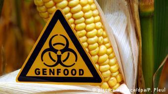 Кукуруза с измененным генетическим составом