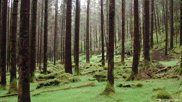 A conifer forest