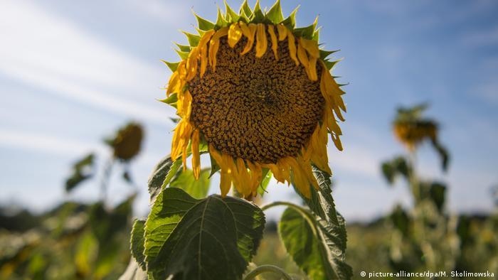 Deutschland vertrocknete Sonnenblume (picture-alliance/dpa/M. Skolimowska)