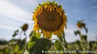 У Саксонії, на сході Німеччини, багато соняшників вже посохли