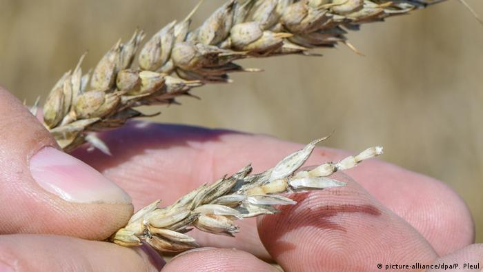 A German farmer compares healthy and stunted wheat ears (picture-alliance/dpa/P. Pleul)