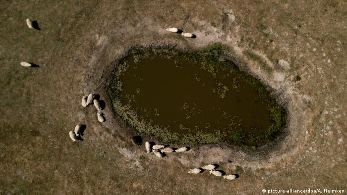 Deutschland Schafe am Wasserloch (picture-alliance/dpa/A. Heimken)
