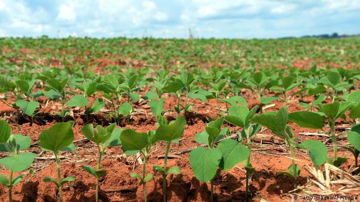 Plántulas de soja en suelo rojo hasta donde alcanza la vista.