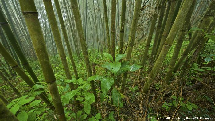 Bambuswald Ostafrika (picture-alliance/Mary Evans/M. Menegon)