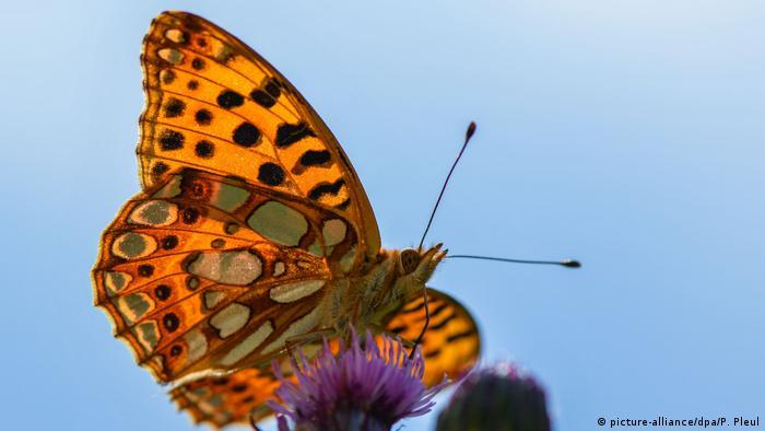 BG Sommerhitze | Schmetterling auf Nahrungssuche (picture-alliance/dpa/P. Pleul)
