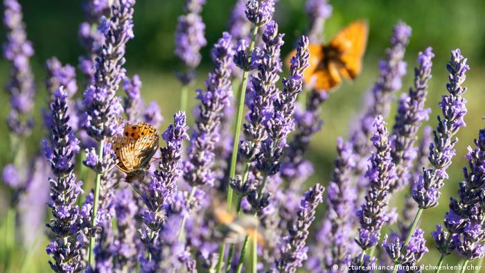 Lavender flowers with butterflies on them (picture-alliance/Jürgen Schwenkenbecher)