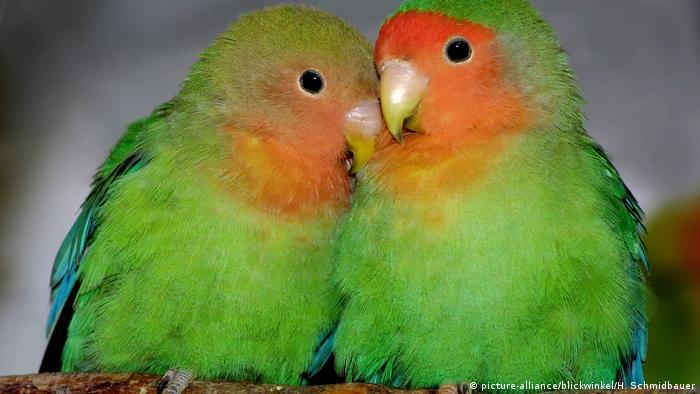 A pair of rosy-faced lovebirds